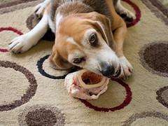 Lacy w/bone (Wisertime2000) Tags: beagle dogs olympus dalmation lacy omd 60mmf28