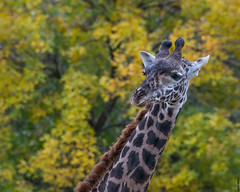Giraffe, Fall 2013 (David Wirtz) Tags: david fall zoo kentucky ky 8x10 foliage wirtz louisville giraffe 2013 davidwirtz