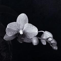 (Martha MGR) Tags: blackandwhite bw flores orchid square orqudeas monocrome blosson canoneosdigitalrebelxs marthamgr