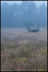 Morning fog with sheep (@photobjorn) Tags: morning fog landscape sweden wideangle d200 fårö tokina12244 apsc colorefex