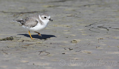 Piping  Plover (Fastball95 (Steve Leach)) Tags: florida plover pipingplover fortdesoto shorebird littlebird