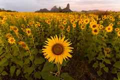 Summer beauty landscape with colorful sunset over sunflowers field (Nattachart J.) Tags: sunset summer sky sun sunlight flower green nature floral beautiful field yellow sunrise landscape botanical golden solar heaven ray view natural bright cloudy blossom outdoor background farming grow meadow sunny growth crop plantation sunflower organic pollen agriculture shining sunbeam