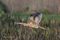 American Bittern (MyKeyC) Tags: bird nature birds americanbittern bittern aaacolbirds