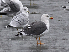 Lesser Black-backed Gull (adult) (Keith Carlson) Tags: gulls lesserblackbackedgull larusfuscus