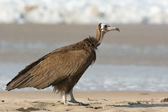 Hooded Vulture (Necrosyrtes manachus) (Dave Montreuil) Tags: ocean africa sea portrait bird beach water strange proud standing sand surf profile sharp ugly westafrica gambia senegal resting vulture dignified necrosyrtes manachus