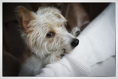 (christilou1) Tags: dog zeiss jack russell sony jr terrier nik 18 55 a7r