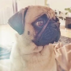 upload (brat_ro) Tags: dog chien pet pets cute animal puppy square fun photography tiere photo funny pretty lol lola adorable pug hund squareformat doggy pugs tier mops carlino iphoneography instagram instagramapp uploaded:by=instagram