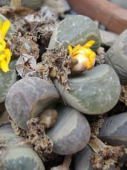 Lithops helmutii (Succulents Love by Pasquale Ruocco (stabiae)) Tags: lithops mesembryanthemum mimicry stabiae mimetismo mesembryanthemaceae cactusco mesembs floweringstones sassifioriti helmutii pasqualeruocco mesembryanthema succulentslove