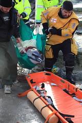 Dolphin Rescue 1 (tonkie93) Tags: sea rescue baby beach pembroke dolphin guernsey
