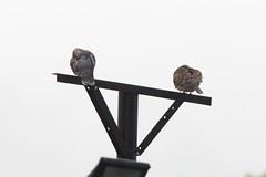 金背鳩 Photo