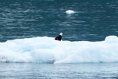 _MG_4526a (markbyzewski) Tags: bird alaska ugly iceberg glacierbaynationalpark