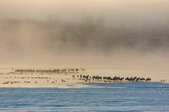 雪、雾之中(snow and fog) (zhouyousifang) Tags: china winter snow bird fog 中国 yunnan 雪 everglade 2014 云南 冬季 blackneckedcrane 晨雾 黑颈鹤 大桥乡
