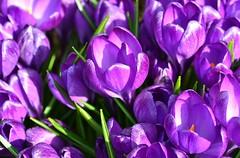 Hope never abandons you, you abandon it. (careth@2012) Tags: flowers flower macro nikon ngc crocus unforgettableflowers thebestofunforgettableflowers d3100 nikond3100