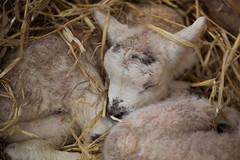 Snooze (Daniela Bowker) Tags: birthday spring lamb ewe lambing