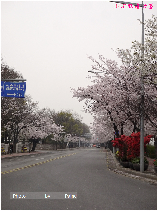 首爾汝矣島輪中路櫻花 (52).JPG