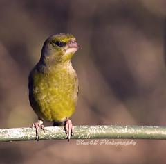 51 Greenfinch (blue62photography) Tags: uk england birds derbyshire hide calke derbs ticknall calkeabbey blue62photography