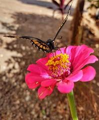 Ela estava olhando para mim 😊 (Paulo Mattes) Tags: borboletas borboleta bomdia macro butterfly nature naturelovers natureza flores flower flor