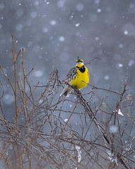 Singing in the Snow (evilpigeon777) Tags: eastern meadowlark singing snow yellow bird songbird new jersey mercer meadows outdoors