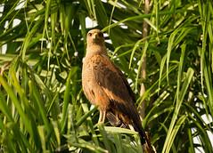 Brazil (richard.mcmanus.) Tags: wildlife mcmanus gettyimages rainforest birdofprey bird savannahhawk hawk southamerica pantanal brazil