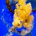 Pacific sea nettle 4 - National Aquarium