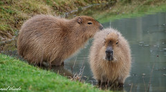 Capybara. is the largest rodent in the world. (neil thiede) Tags: hydrochoerushydrochaeris capybara