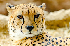 Male Cheetah, Asnaro of Yokohama Zoological Gardens : チーターのアスナロ(よこはま動物園ズーラシア) (Dakiny) Tags: 2017 spring march japan kanagawa yokohama asahiward outdoor nature park zoo zoorasia yokohamazoologicalgardens creature animal mammal carnivore feline savagebeast beastofprey bigcat cheetah yellow nikon d7000 afsvrzoomnikkored70200mmf28g(if) nikonafsvrzoomnikkored70200mmf28g(if) nikonclubit