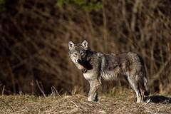Wilk ( Canis lupus ) WOLF (Zdjęć kilka...) Tags: marzec 2017 wilki wilk wolf canis lupus