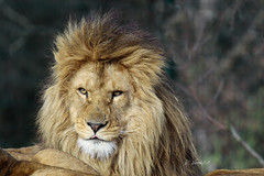 African Lion (K.Verhulst) Tags: afrikaanseleeuwen africanlions leeuwen lions beeksebergen hilvarenbeek safaripark safariparkbeeksebergen tilburg cats cat
