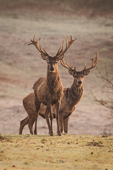 Double act (Becca Fulcher) Tags: deer stag wild wildlife nature mammal animal