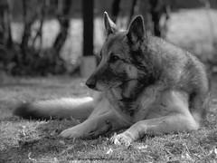 2017_04_02 (9) (koppomcolors) Tags: koppomcolors dog hund minolta ilford panf