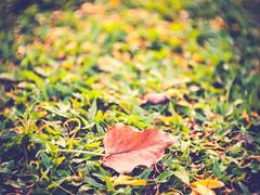 Fallen leaf (jojoman010) Tags: meopta meostigmat 35mm f13 panasonic gf2