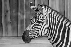 Stripes (Aufklatscher) Tags: zebra schwarz weiss streifen zoo karlsruhe stripes bw black white animal tier afrika portrait sw monochrom nature natur tiere animals