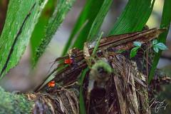 Costa Rica Day 2 (Puerto Viejo, Heredia) (Max Goldberg) Tags: costa rica pura red vida naturalhabitat vacation tropical wildlife poison frog