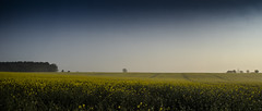 another lone tree (HHH Honey) Tags: sonya7rii tokina2035mmlens tokina landscape marlborough wiltshire spring morning sunrise mist misty lonetree canola oilseedrape yellow farming crops
