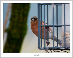 Chaffinch On Feeder (flatfoot471) Tags: 2017 animal bird mugdock normal robin scotland stirlingshire unitedkingdom winter gbr
