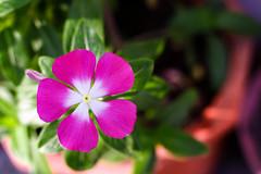 IMG_4133-1 (TranTrung_Designer) Tags: flower catharanthus roseus hoa