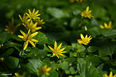 Frühlingsblumen (garzer06) Tags: frühlingsblumen blumen grün vorpommernrügen deutschland mecklenburgvorpommern inselrügen vorpommern insel rügen