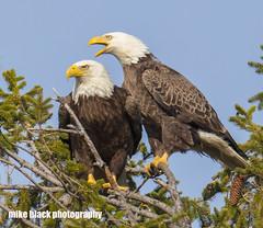 Bald Eagle pair Canon 5DSR (Mike Black photography) Tags: bald eagle bird nature new nj jersey shore canon 5dsr 800mm l is usm lens big year birding april 2017