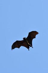 DSC (858) (wanderamore) Tags: srilanka botanicalgardens peradeniya flyingfox