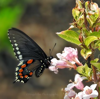 First Black Swallowtail of Spring