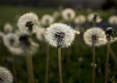104/365 One Wish (zodia81) Tags: 365project 365year2 dailyphoto dandelions wish morgantown wv westvirginia