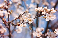 [14/52] plum blossoms (Pantalymon) Tags: 52 weeks project plum blossoms sun warm 50mm nature garden spring