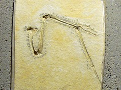 Rhamphorhynchus gemmingi P1040778 (martinfritzlar) Tags: senckenberg senckenbergnaturmuseum museum frankfurt fossil tier reptil flugsaurier pterosauria rhamphorhynchidae rhamphorhynchus rhamphorhynchusgemmingi flügel wing reptile pterosaur