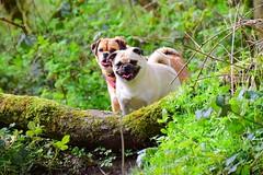 Exploring (hankp67) Tags: woods dogs puggle pug