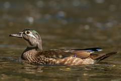 FemaleWD1 (lfalterbauer) Tags: woodduck canon nature wildlife easter bird outdoor ornithology birdwatcher valleygreen philadelphia dslr