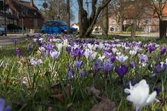 Spring (michael_hamburg69) Tags: hamburg germany deutschland krokus krokusse crocus white blossom blüte frühling spring kroketten formerlyknownaskrokanten lila lilac