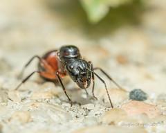 Carpenter Ant Queen (strjustin) Tags: carpenterantqueen queenant antqueen carpenterant ant insect bug anthropod canon80d macro