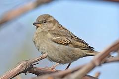 House Sparrow ♀ (Passer domesticus) Горобець хатній