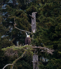 Bald Eagle (matttimmons1) Tags: eagle bald alaska bird wilderness evergreen nature photography