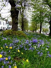 Bluebells at Newnham. (jenichesney57) Tags: flowers bluebells bttercups grass bank trees bole houses leaves stalks green yellow blue newnhamonsevern gloucestershire street view wildflowers panasonicdmctz60